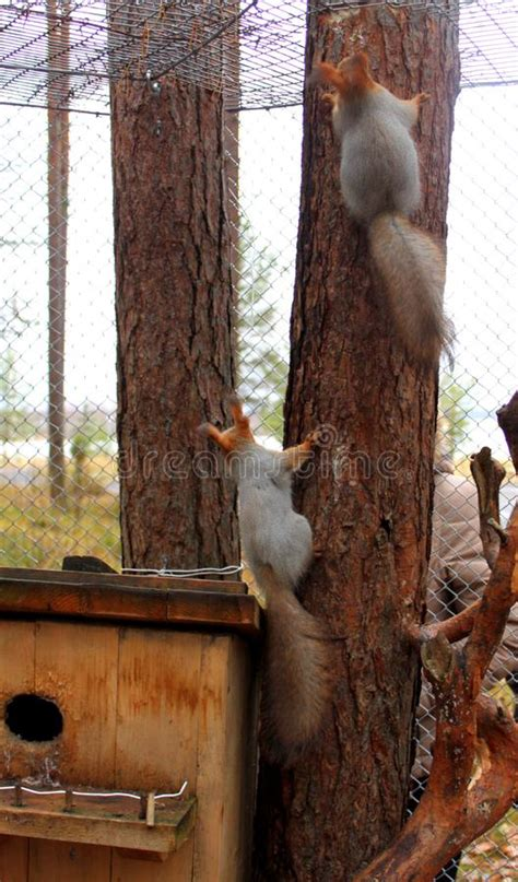 Two Red Squirrels Climbing On A Branch, Isolated Stock