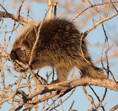 Porcupines - Old and New World Rodents with Quill Defense